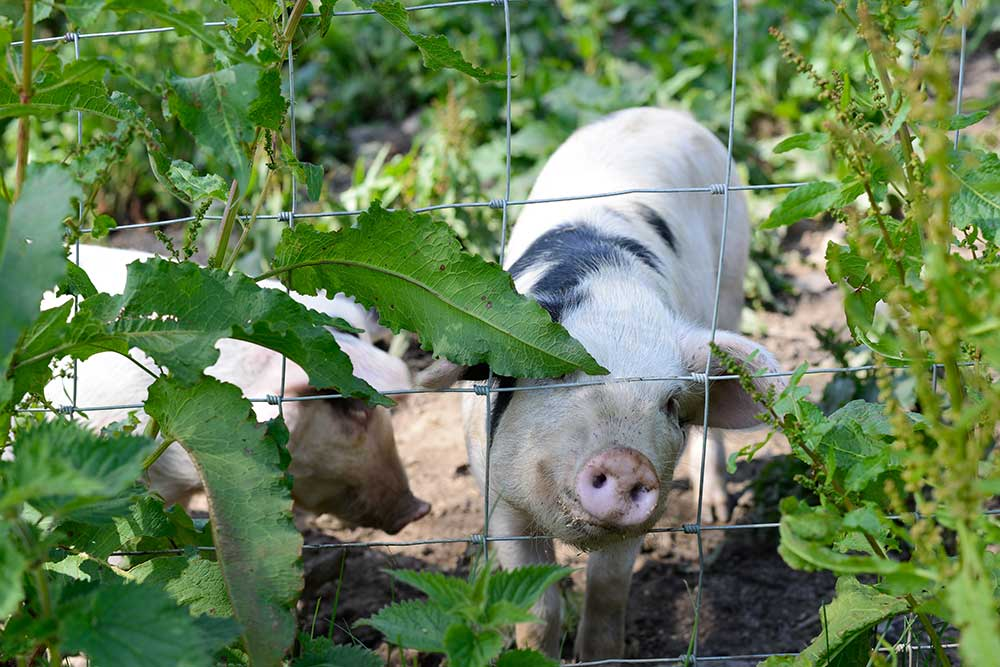 Laverstock Farm Pigs
